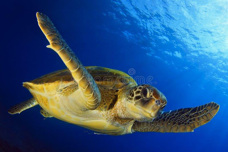 Tartaruga verde de voo foto de stock