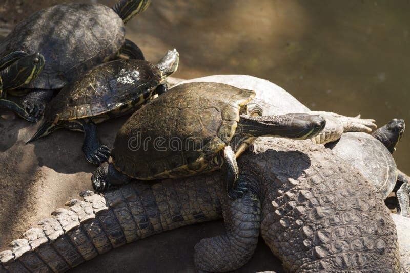 Tartaruga verde di emydidae sul coccodrillo, parco di Venta della La Villahermosa, Tabasco, Messico immagini stock libere da diritti