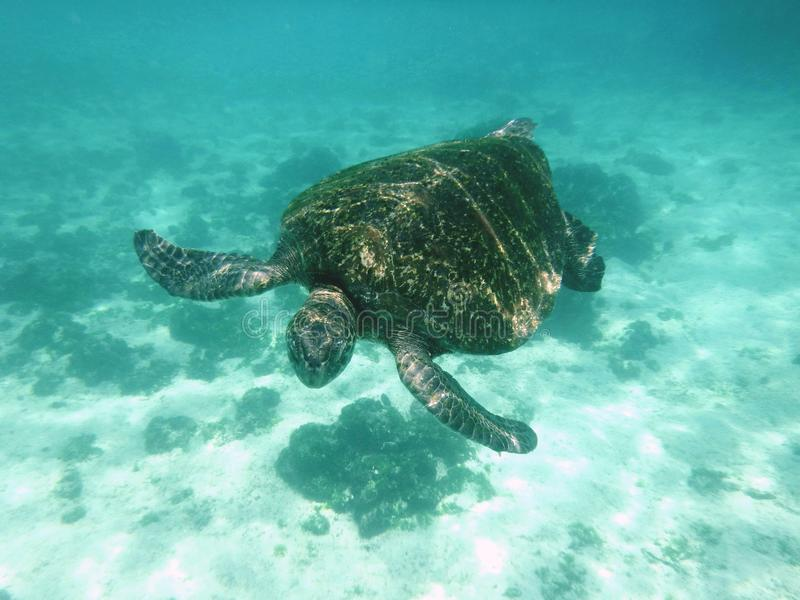 Tartaruga verde di Galapagos immagini stock