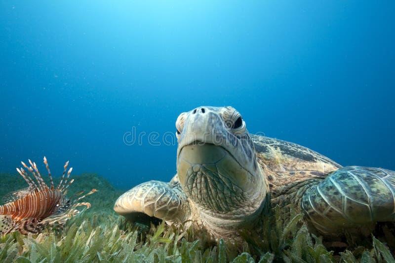Tartaruga verde ed erba del mare immagini stock