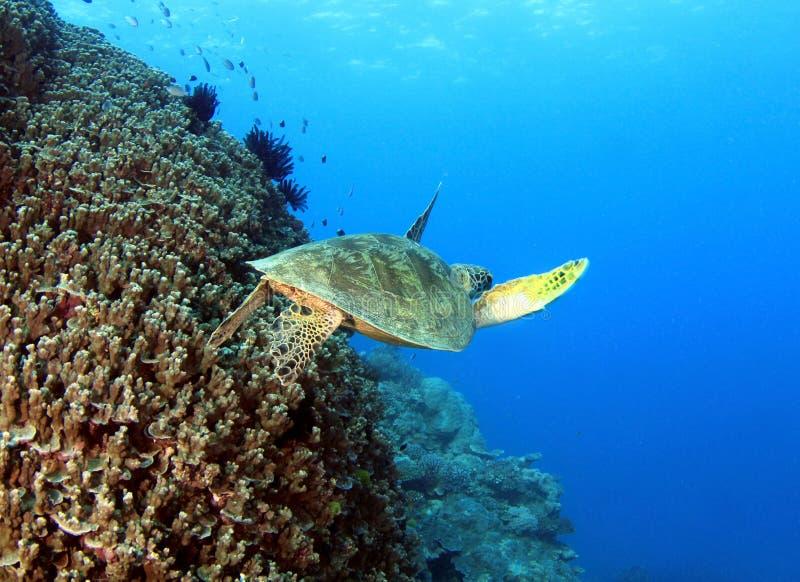 Tartaruga verde, grande recife de barreira, montes de pedras, Austrália fotos de stock royalty free