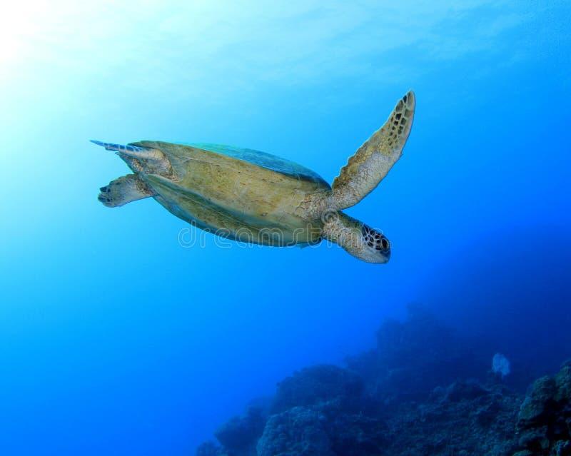 Tartaruga verde, grande recife de barreira, montes de pedras, Austrália imagem de stock royalty free