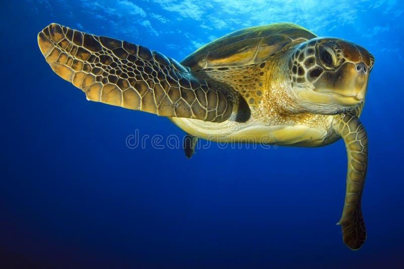 Tartaruga verde no azul imagem de stock royalty free