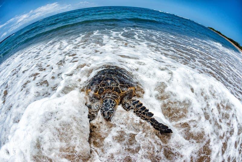 Tartaruga verde que chega na costa em Havaí foto de stock royalty free