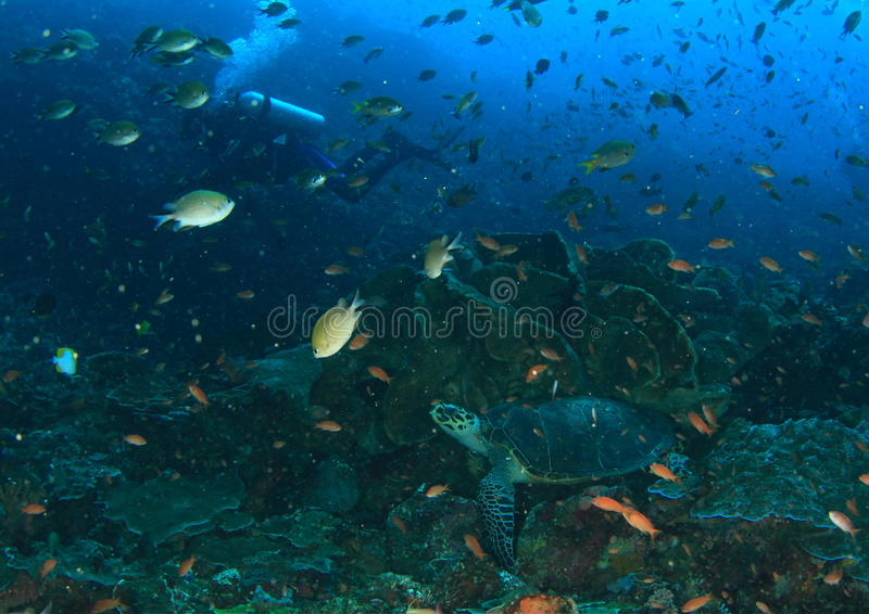 Tartaruga verde que levanta para o mergulhador em corais fotos de stock royalty free