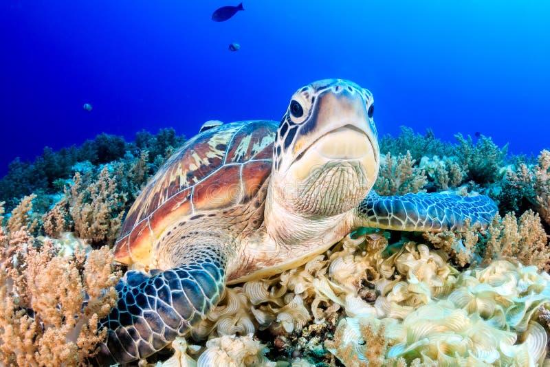 Tartaruga verde scontrosa immagini stock libere da diritti