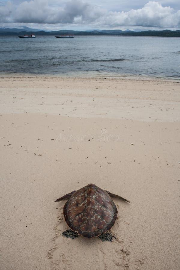 Tartaruga verde sulla spiaggia fotografia stock libera da diritti