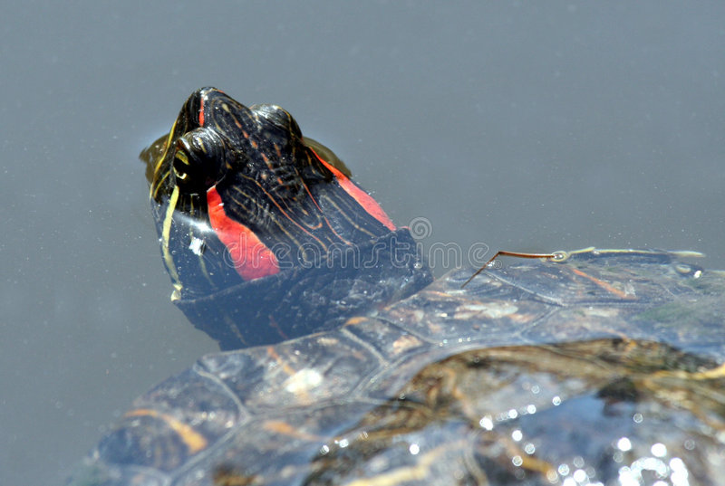 Tartaruga vermelha da orelha foto de stock royalty free