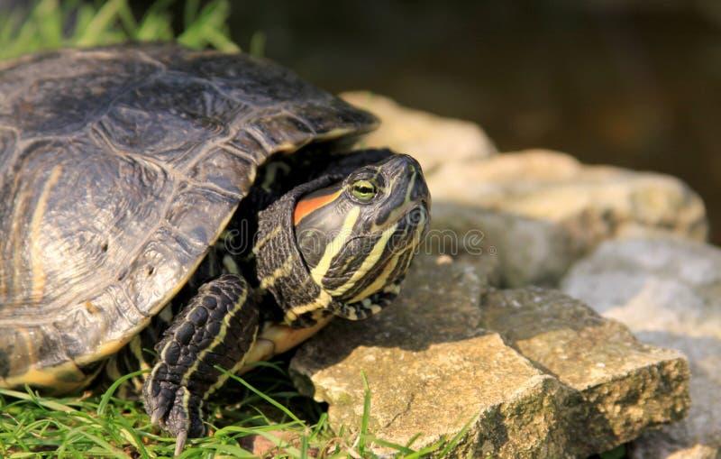 tartaruga Vermelho-orelhuda do slider fotografia de stock