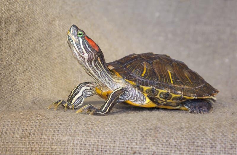 Tartaruga vermelho-orelhuda do slider da lagoa imagem de stock royalty free