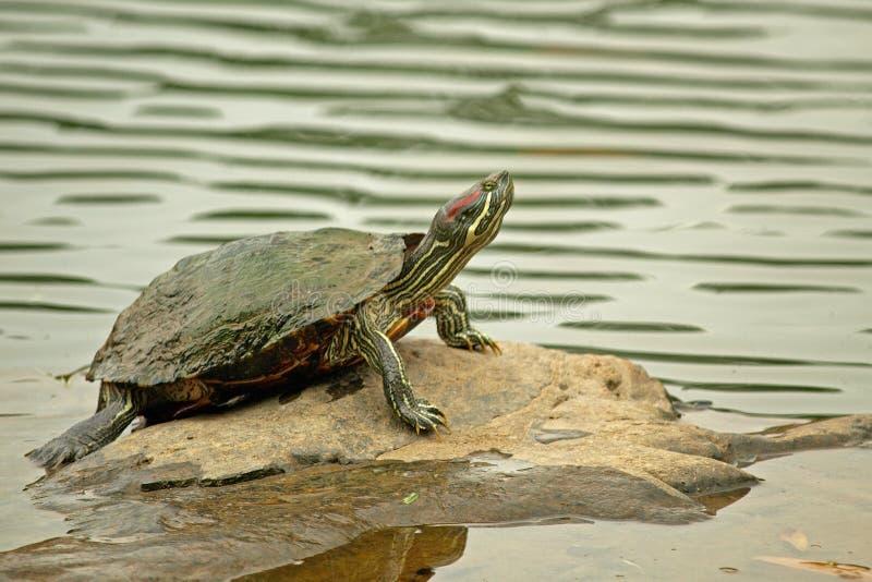tartaruga Vermelho-orelhuda do slider que levanta na rocha imagem de stock