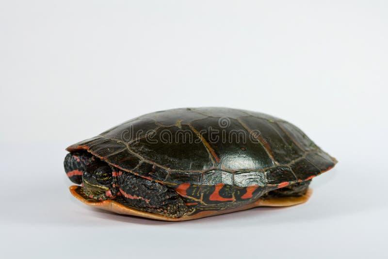 Tartaruga verniciata. fotografie stock
