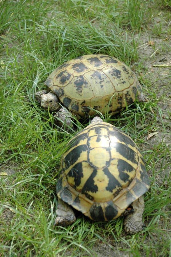tartarugas fotos de stock royalty free