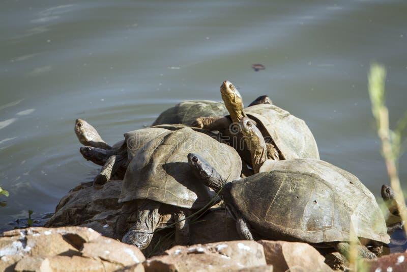 Tartarugas Angulate no parque nacional de Kruger, no banco de rio fotografia de stock