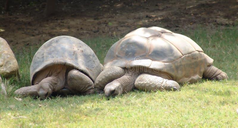 Tartarugas da terra de pastagem imagens de stock royalty free