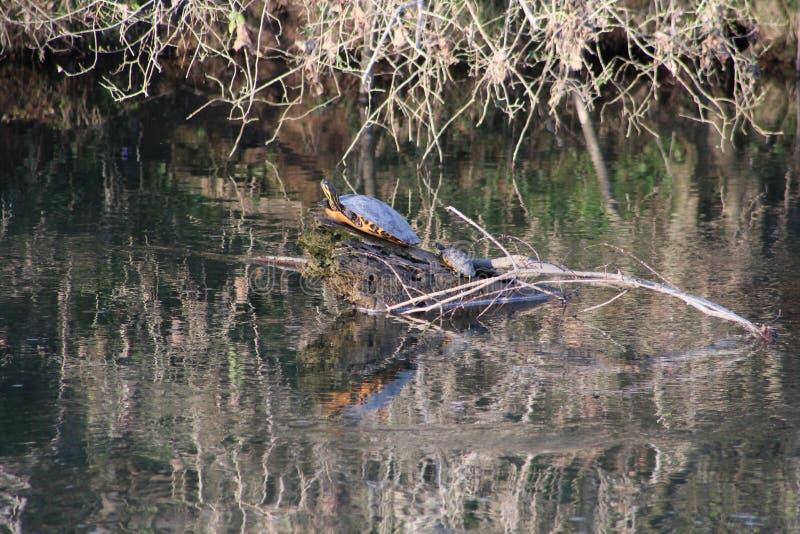 Tartarugas de agarramento mamã & criança no rio do início de uma sessão fotos de stock