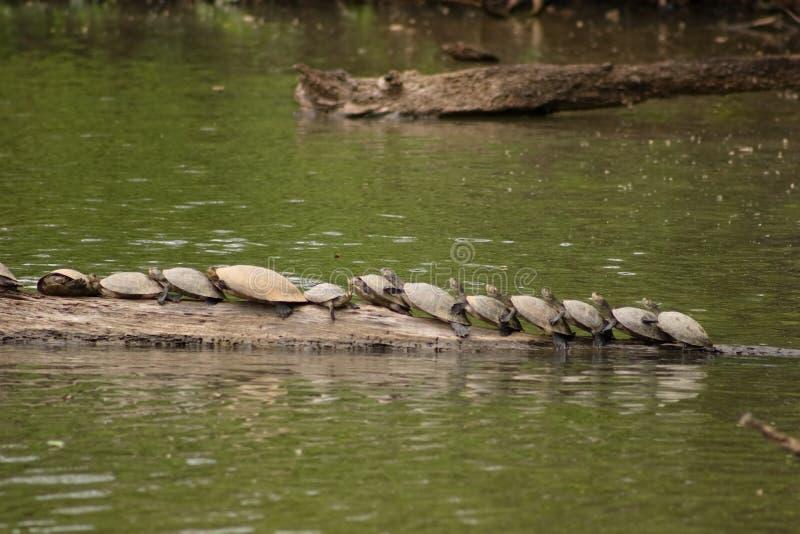 Tartarugas de Amazon imagem de stock