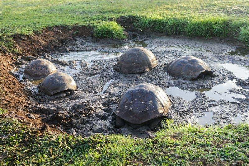 Tartarugas de Galápagos no meio da lama que refrigera no por do sol nas ilhas foto de stock royalty free