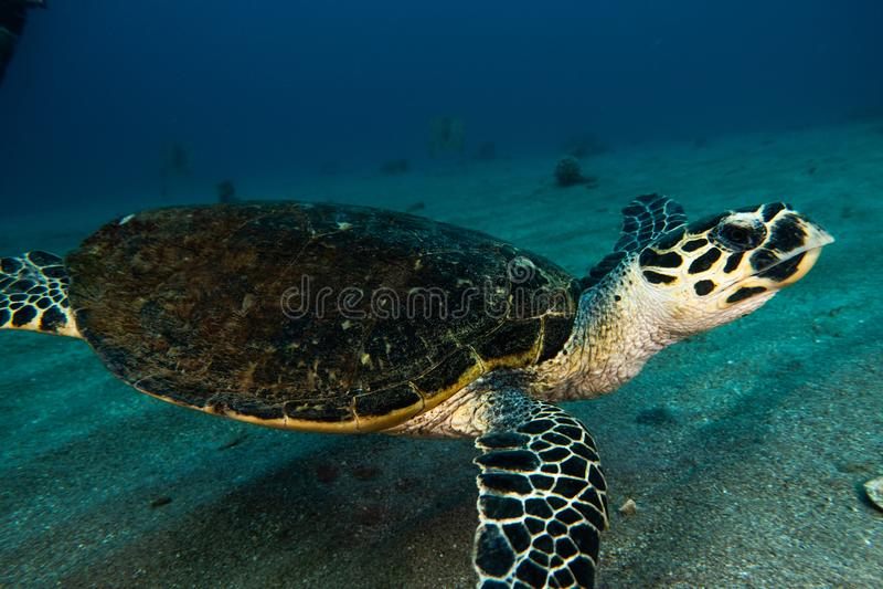 Tartarugas de mar verde gigantes no Mar Vermelho a e imagem de stock