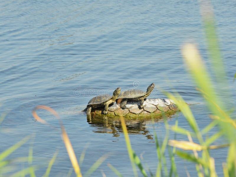 Tartarugas europeias da lagoa foto de stock