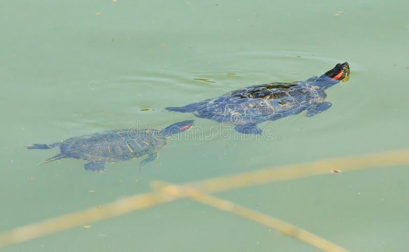 Tartarugas mãe e filho da água imagens de stock royalty free