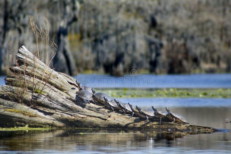 Tartarugas no registro foto de stock royalty free