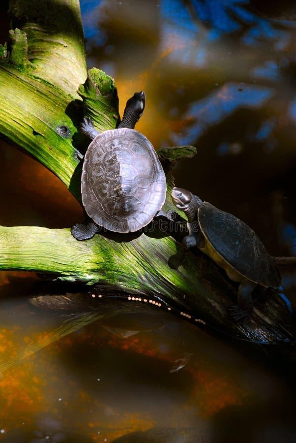 Tartarugas no sol imagens de stock royalty free