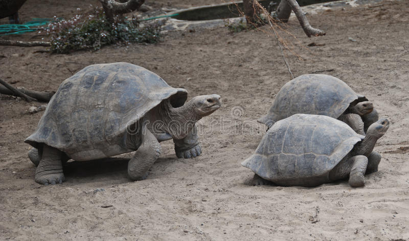 Tartarugas nos consoles de Galápagos foto de stock