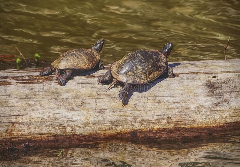 Tartarugas nos pantanais foto de stock royalty free