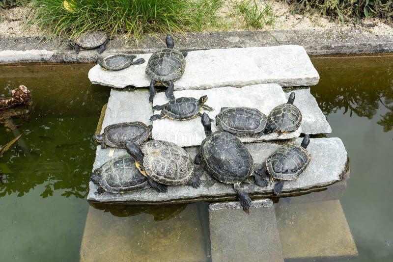 Tartarugas pequenas no jardim que encontra-se ao redor com fim acima imagem de stock
