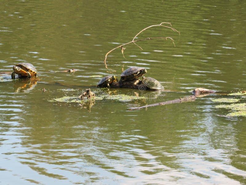 Tartarugas que penduram para fora em um log fotografia de stock royalty free