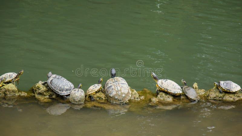 Tartarugas que sentam-se na linha do início de uma sessão fotos de stock