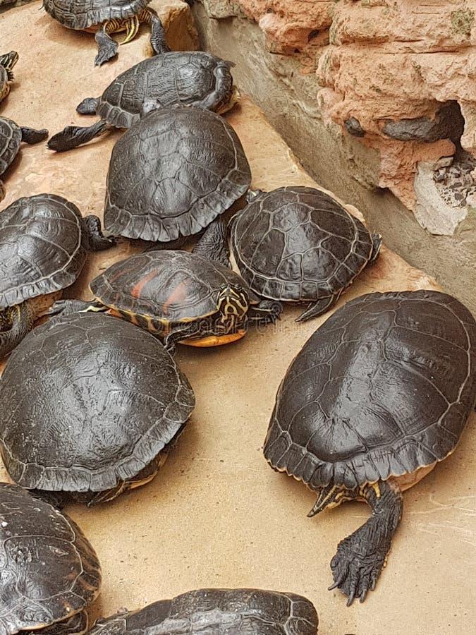 tartarughe immagine stock libera da diritti