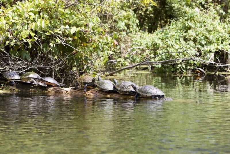 Tartarughe immagine stock immagine di tartaruga acqua for Lago per tartarughe