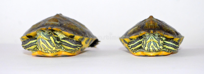 tartarughe fotografie stock