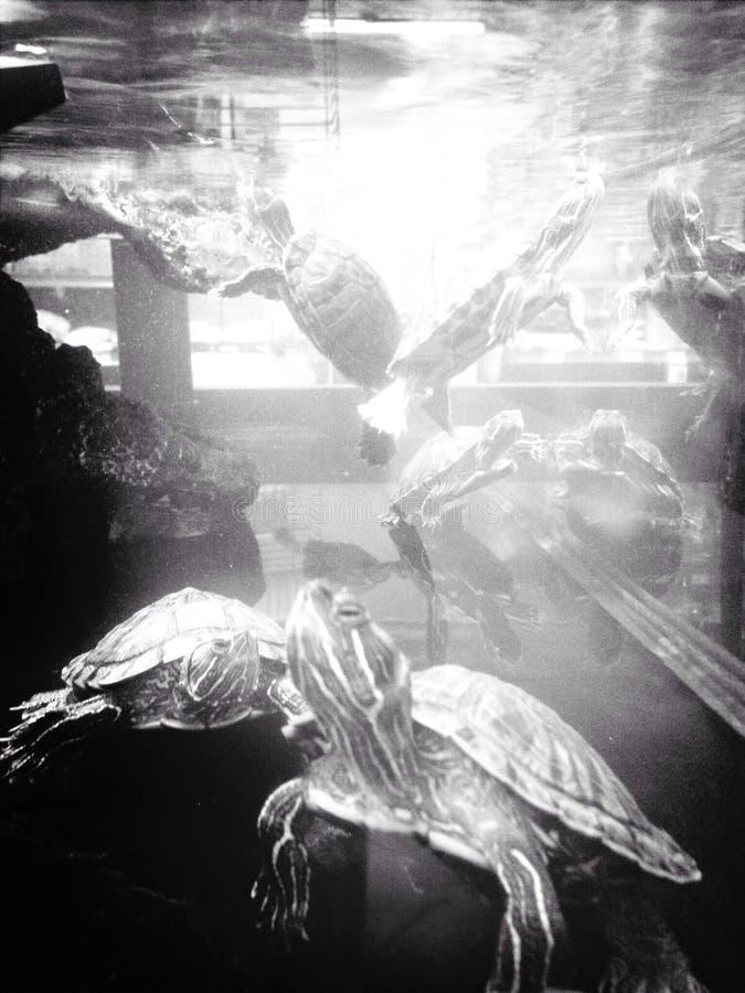 Tartarughe che nuotano nell' fotografie stock