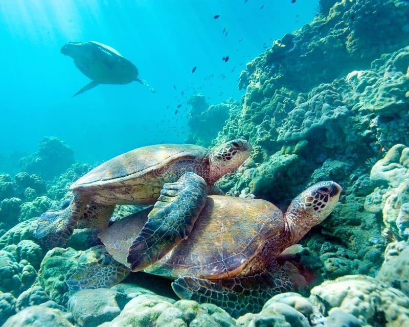 Tartarughe di mare Maui Hawai fotografie stock