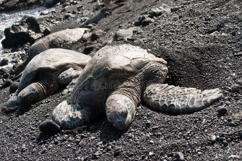 Tartarughe di mare verde sulla spiaggia nera della sabbia