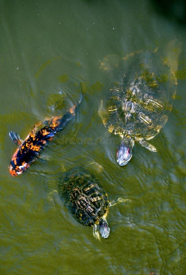 Tartarughe e pesci di koi immagine stock immagine di for Pesci di stagno