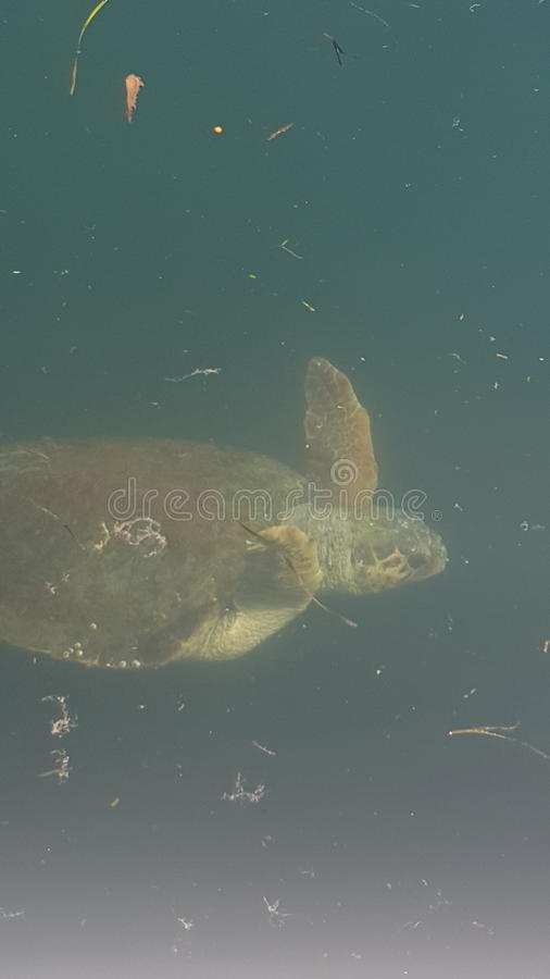 tartarughe in kefalonia in mare immagine stock libera da diritti