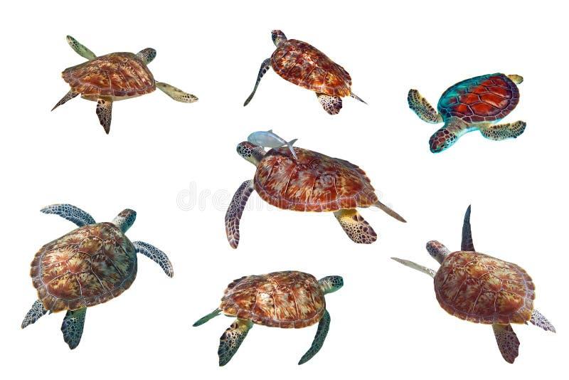 Tartarughe marine sopra bianco fotografie stock libere da diritti