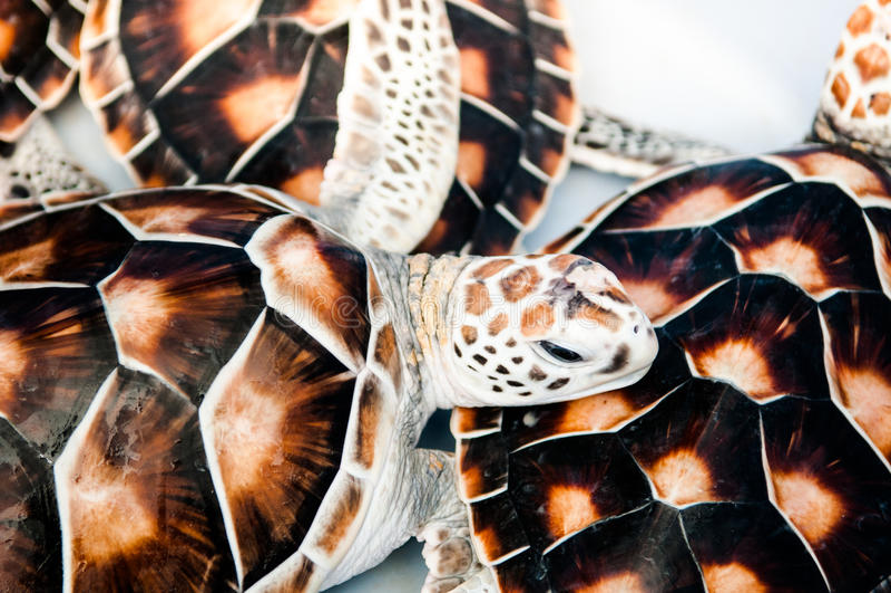 Tartarughe marine - tartarughe verdi immagini stock libere da diritti