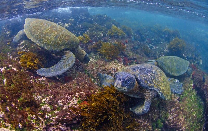 Tartarughe marine verdi che si alimentano, isole Galapagos immagine stock