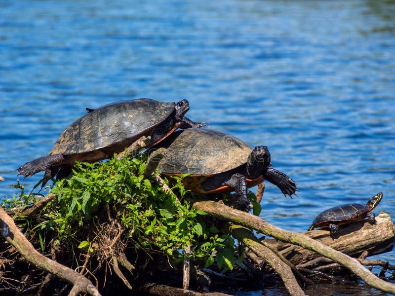 Tartarughe sui rami che espongono al sole sul lago immagini stock libere da diritti
