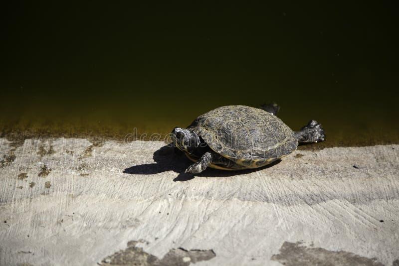 Tartarughe in una damigiana di vetro fotografia stock for Lago tartarughe