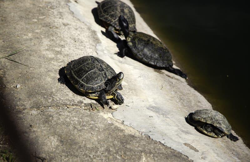 Immagini di riserva di reptilian la sovranit di for Lago tartarughe