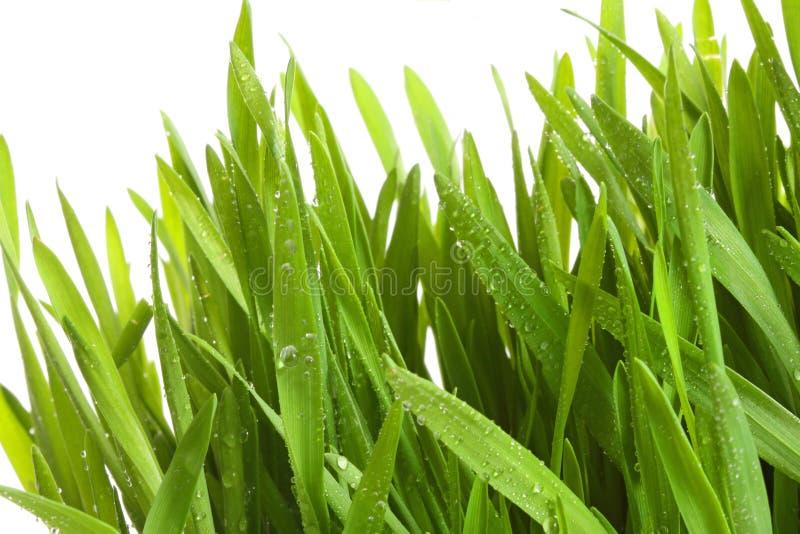 Tarwe-gras tegen een wit stock fotografie