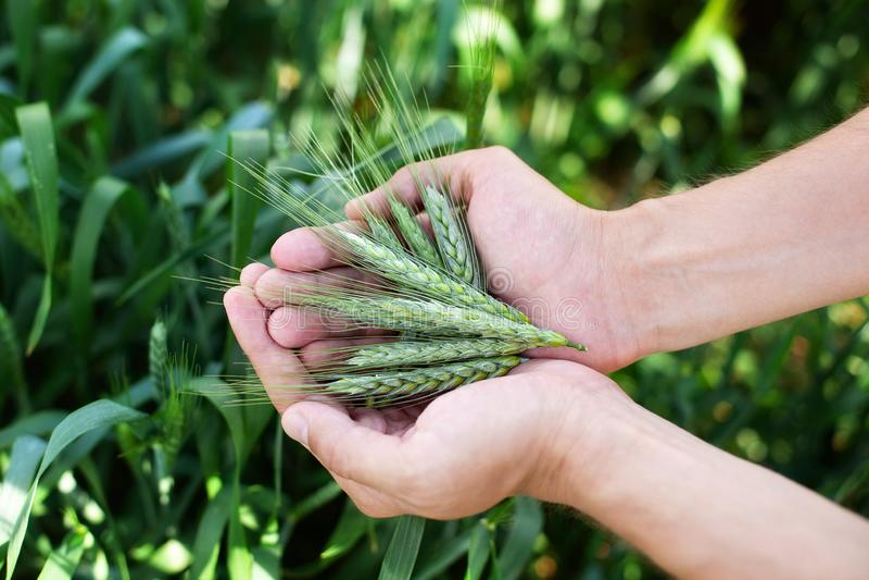 Tarwe in handen Landbouwer met tarwe in handen De tarweoren in landbouwer overhandigt dicht omhoog Installatie, aard, rogge Gewas royalty-vrije stock afbeelding