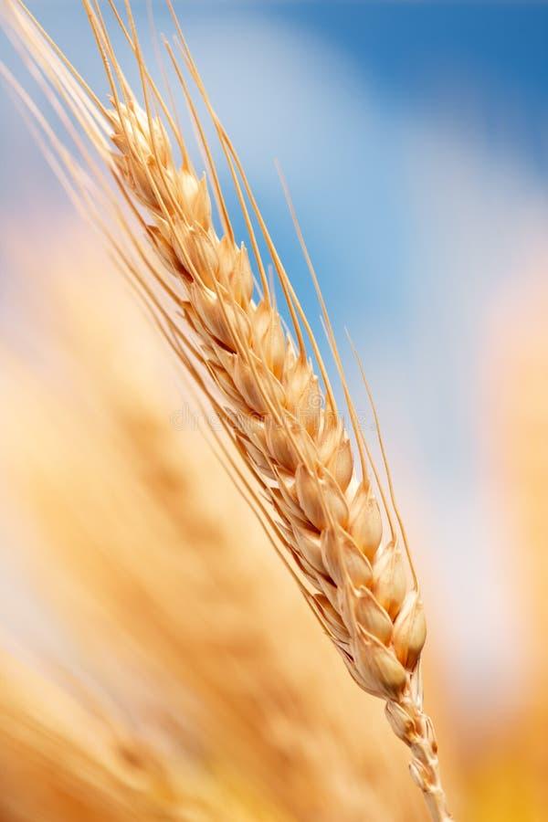 Tarwe in het landbouwbedrijf