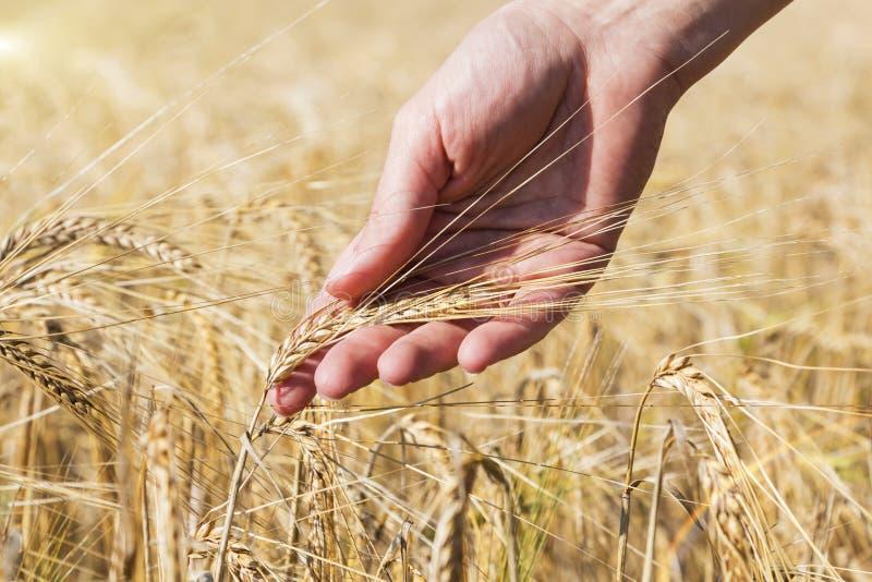 Tarwe op hand Installatie, aard, rogge Gewas op landbouwbedrijf Stam met zaad voor graangewassenbrood stock afbeelding